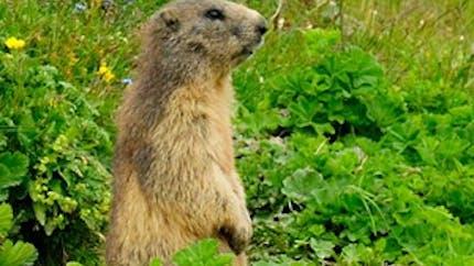L'origine du jour de la marmotte