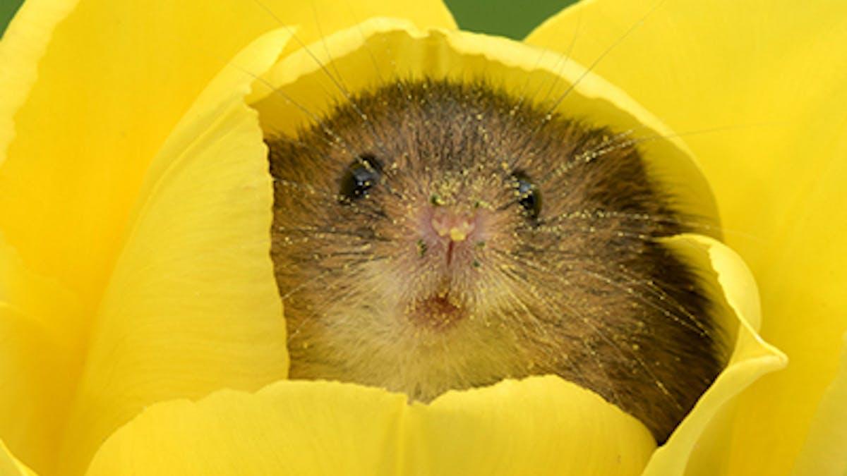 photos des souris dans des tulipes Miles Herbert