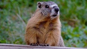 Anecdotes sur la marmottes