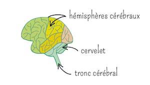 Comment fonctionne le cerveau ?