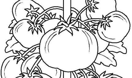 Coloriage le plant de tomate