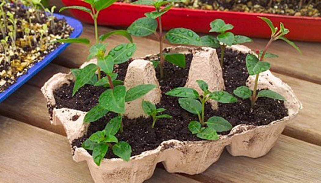 Des semis dans une boite à oeufs