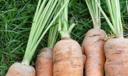 En mars : les carottes