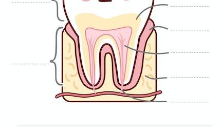 Exercice : la dent