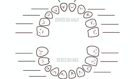 Exercice : la denture primaire