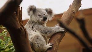 Koala, poème pour un marsupial