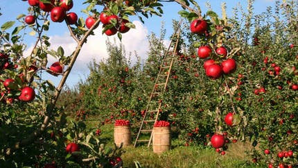 L'arbre fruitier, un poème à croquer
