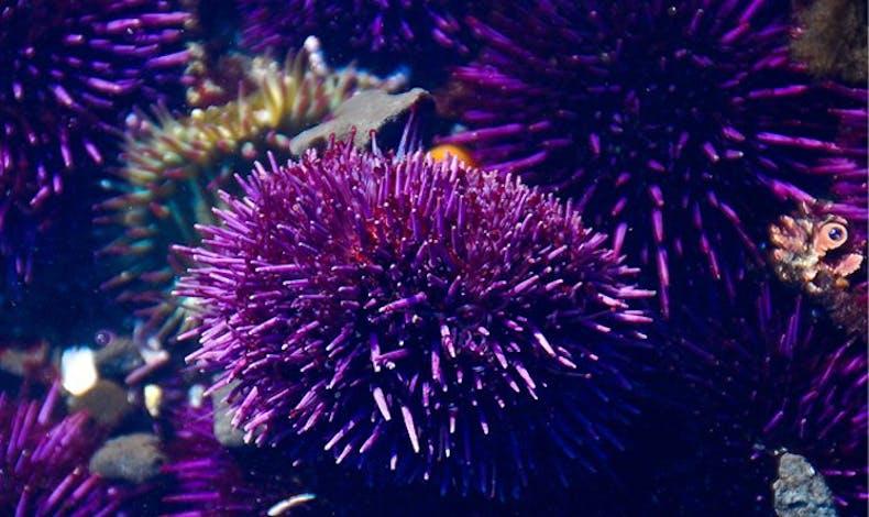 L'oursin violet