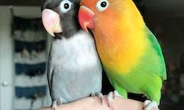 La fabuleuse histoire d'amour de deux perroquets ♥