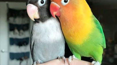 histoire d'amour perroquets inséparables love kiwi       siouxie bébés oiseaux oisillons