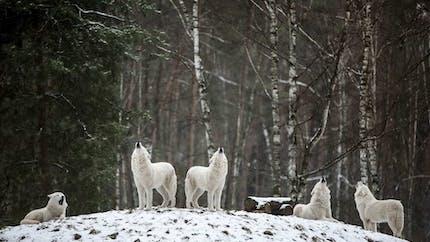 La meute de loup