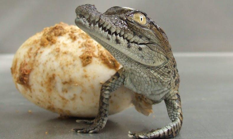 Le bébé alligator