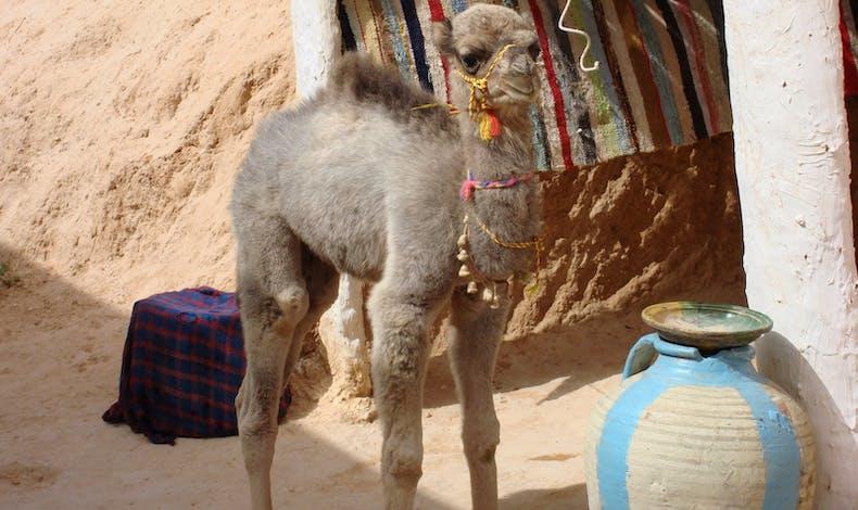 Le bébé chameau