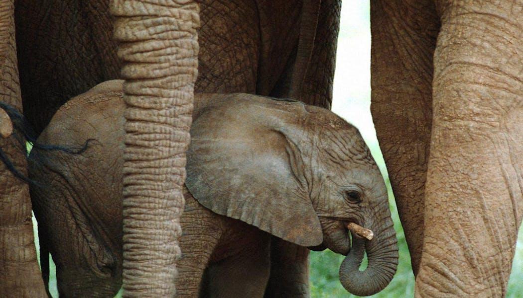 Le bébé éléphant