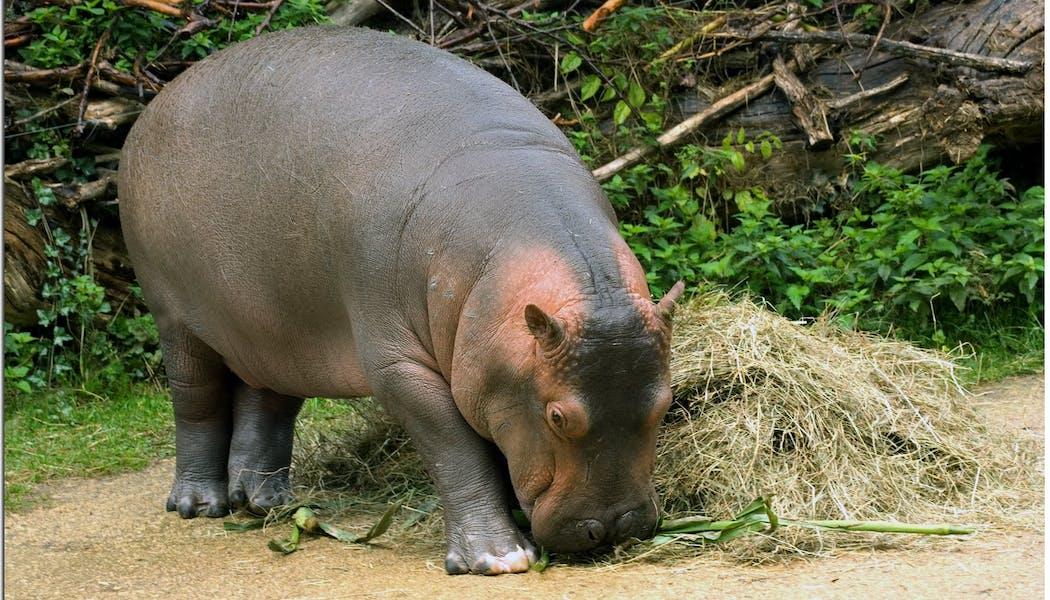 Le bébé hippopotame