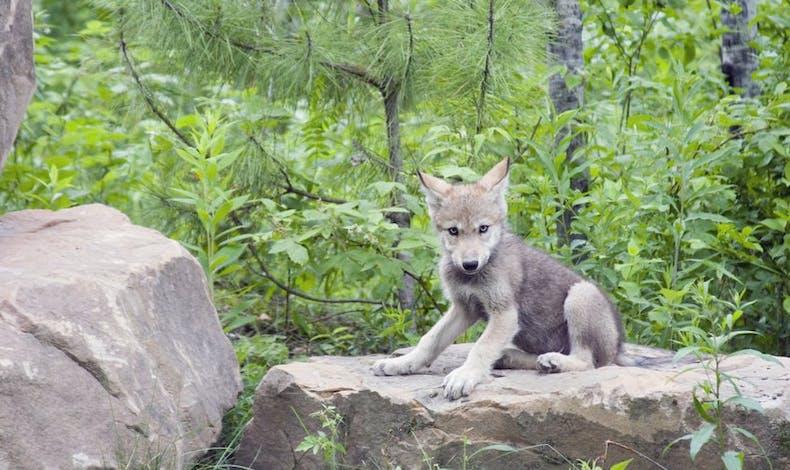 Le bébé loup