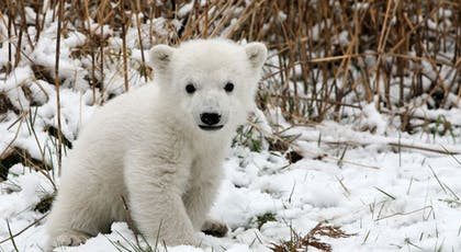Le bébé ours