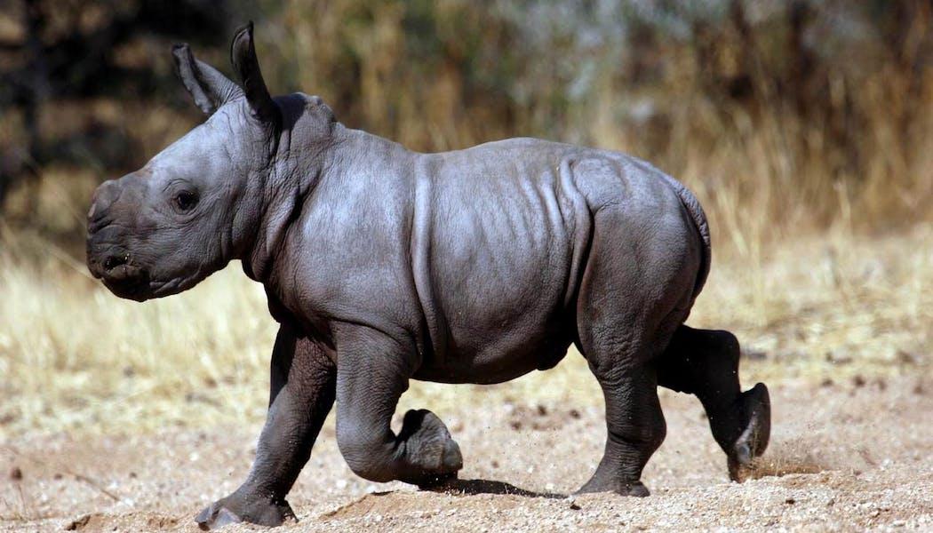 Le bébé rhinocéros