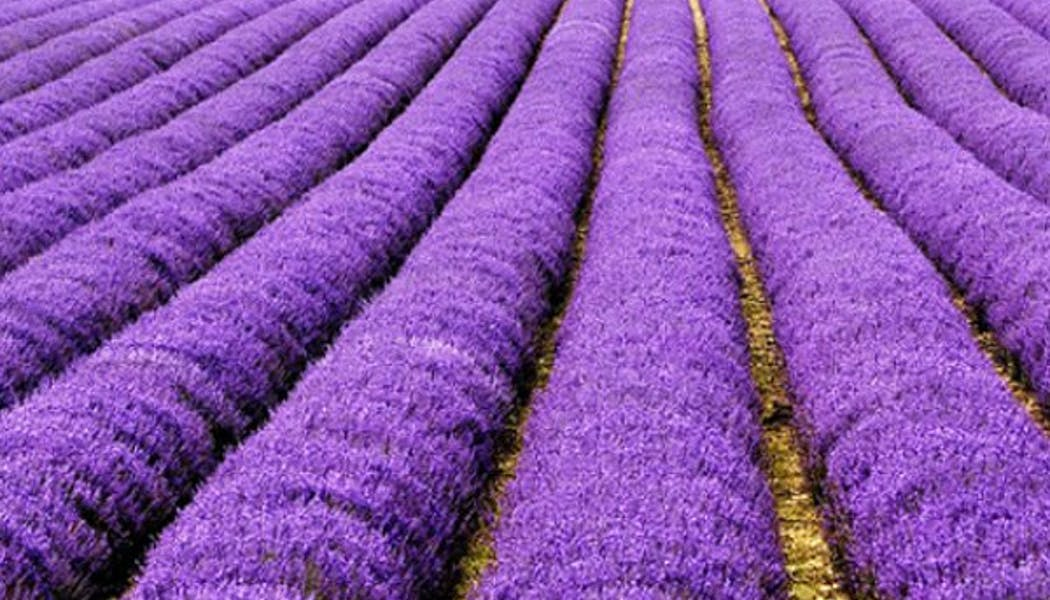 Le champs de lavande