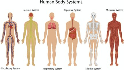 Le corps humain : généralités