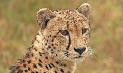 Le guépard, un poème sur ce superbe félin d'Afrique