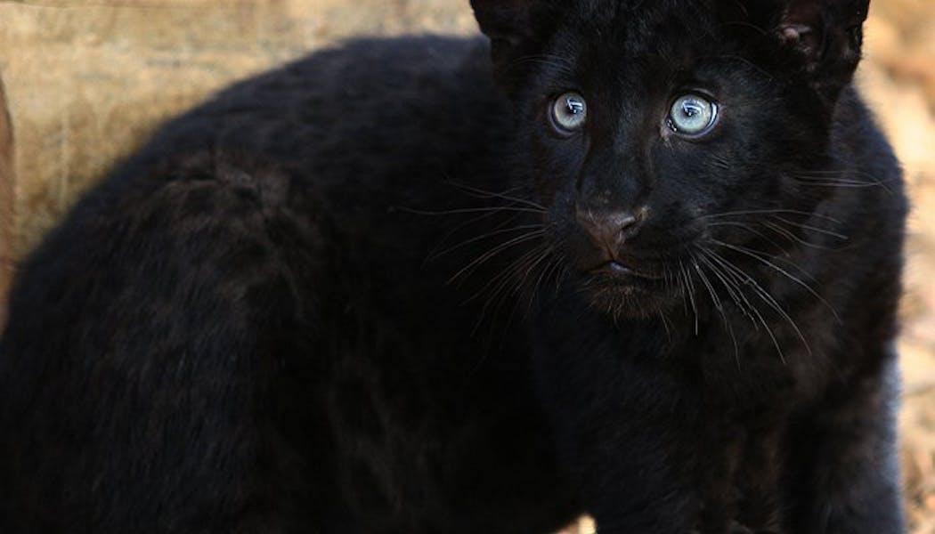 Le léopard noir