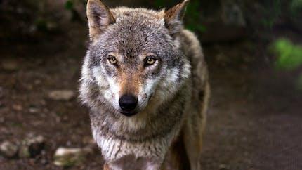 Le loup, un animal sauvage rare et majestueux