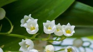 Le muguet, un poème sur la fleur porte-bonheur