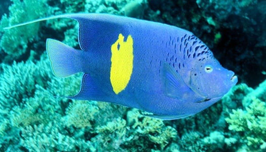 Le poisson bleu
