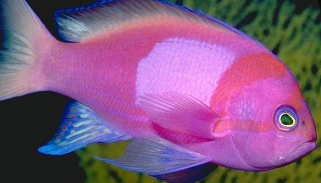Le poisson rose