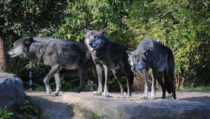 Les loups entre eux