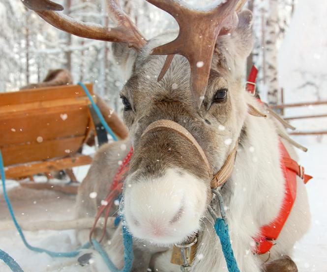 Nom Des Rennes Du Pere Noel Les rennes du Père Noël | MOMES.net