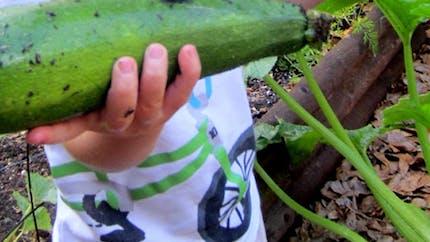 Planter des courgettes en pot