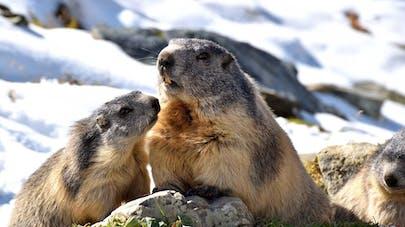 marmottes dans les Alpes