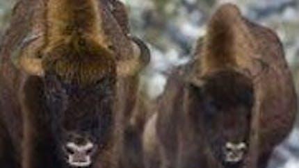 Réserve de bisons d'Europe