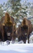 Image Réserve de bisons d'Europe