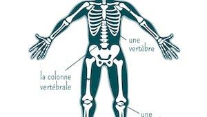 Le squelette : base du corps humain