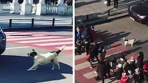 Tous les jours, ce chien aide des enfants de maternelle à traverser la rue !