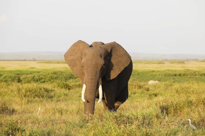 Éléphant dans le parc national d'Amboseli, Kenya