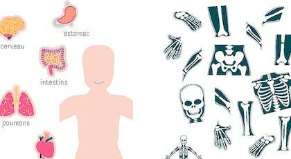 des puzzles à imprimer sur les organes et le squelette