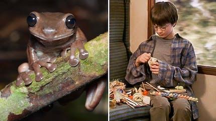 Harry Potter : la chocogrenouille existe pour de vrai !